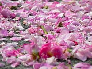 What is the Grasse Rose Festival?